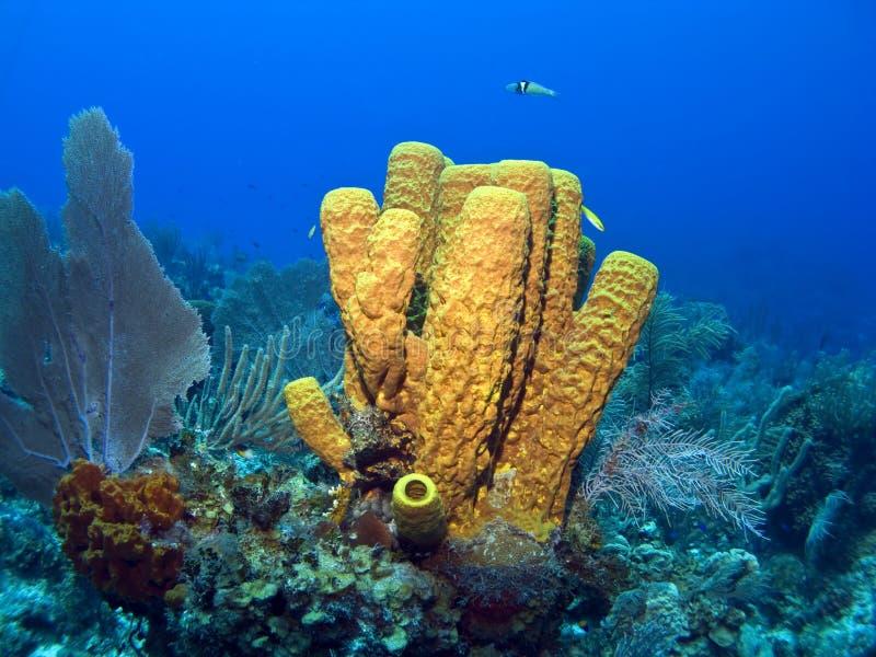 Yellow Tube Sponge. Cayman Island Yellow Tube Sponge on a Reef stock images