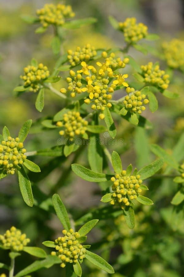 Yellow tuft. Flower buds - Latin name - Alyssum murale royalty free stock image