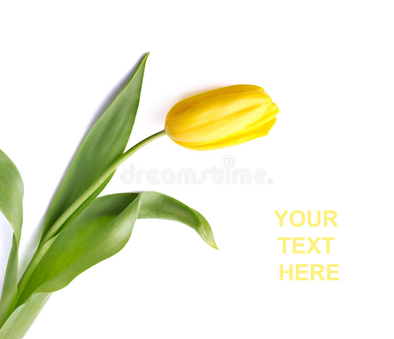 Download Yellow Tulip Royalty Free Stock Photos - Image: 23655788