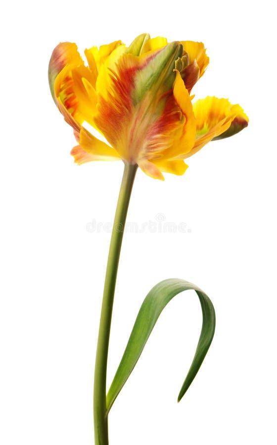 Free Yellow Tulip Stock Image - 8728071