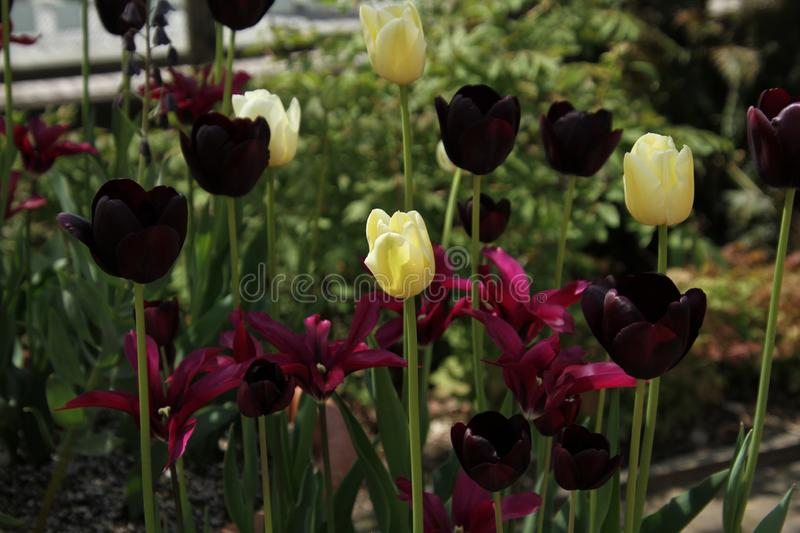 A yellow tulip amongst some red tulips stock photo