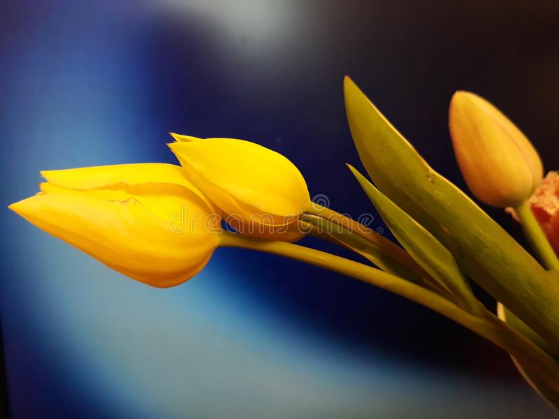 Yellow tulip bouquet in blue. Beauty hope joy bliss softness lightness three yellow tulip blue aspiration bouquet spring nice flowers magic royalty free stock images