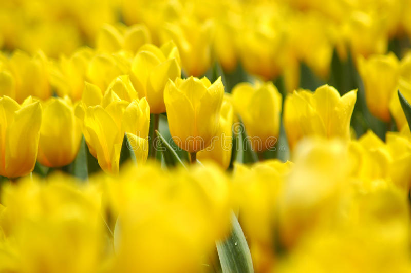 Yellow Tulip Field stock image