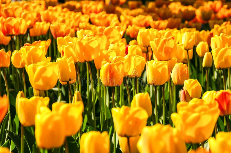 Yellow Tulip Field Free Public Domain Cc0 Image