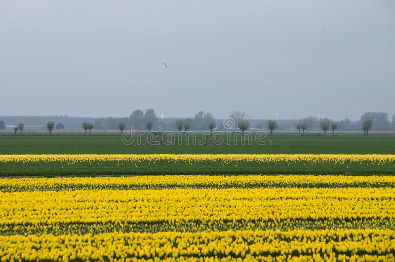 Yellow Tulip Fields In North Holland Stock Photo
