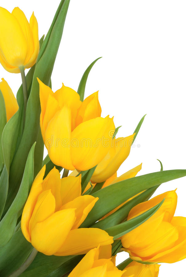 Free Yellow Tulip Flower Beauty Stock Photo - 13104160
