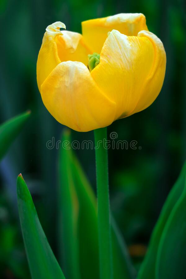 Yellow tulip flower on green background. Close up of Yellow tulip flower isolated on green background stock photography