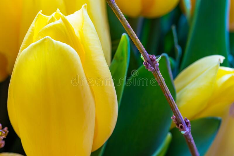 Yellow tulip flower close up macro selective focus blur. Background stock photo