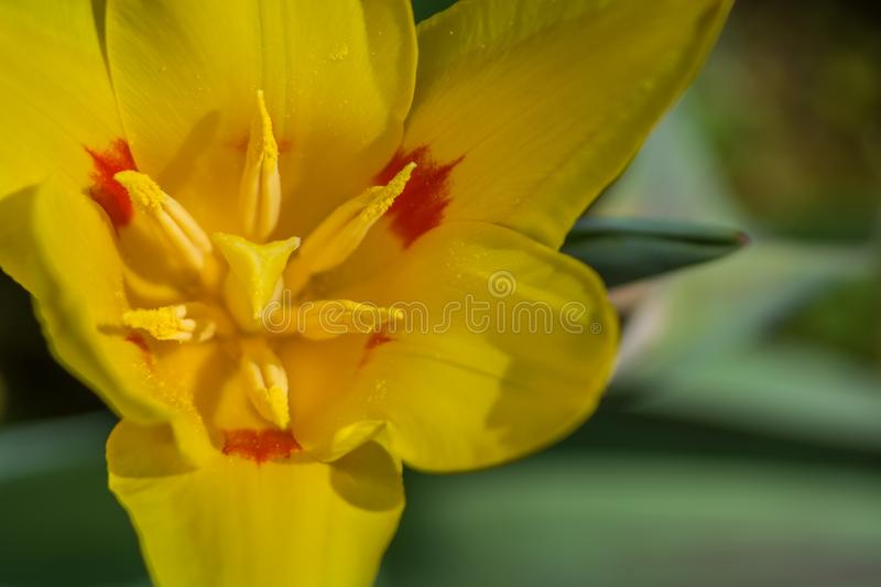 Tulip flower with parted petals on a closeup. Yellow tulip flower with parted petals on a closeup royalty free stock photos