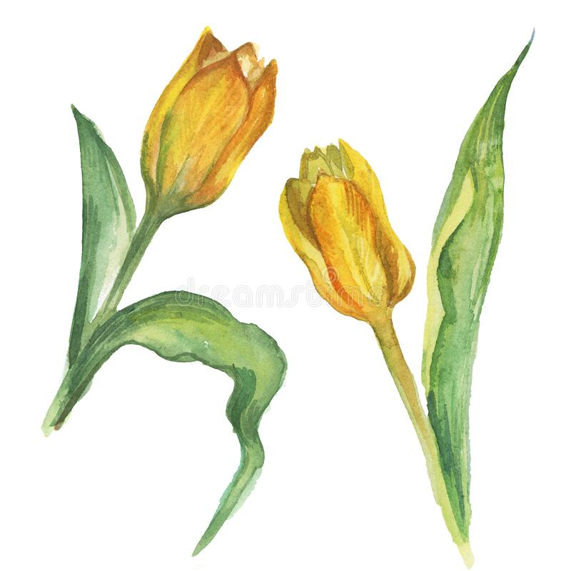 Yellow tulip flower. Watercolor botanical drawing. Isolated on white background.  vector illustration