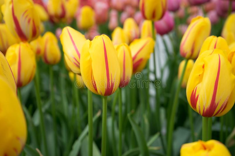 Yellow tulip flowers in a garden in Lisse, Netherlands, Europe. On a bright summer day royalty free stock photos