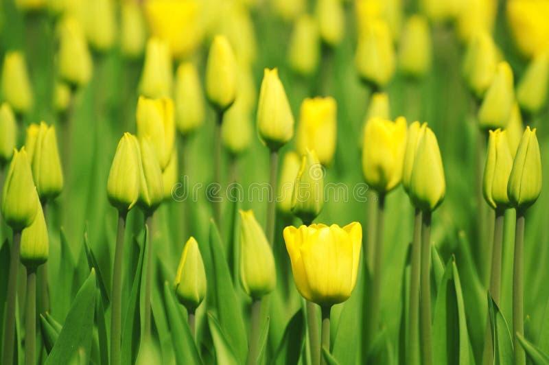 Yellow tulip garden stock photos