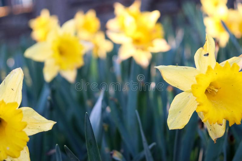Yellow tulip with green leaves in the background stock photos