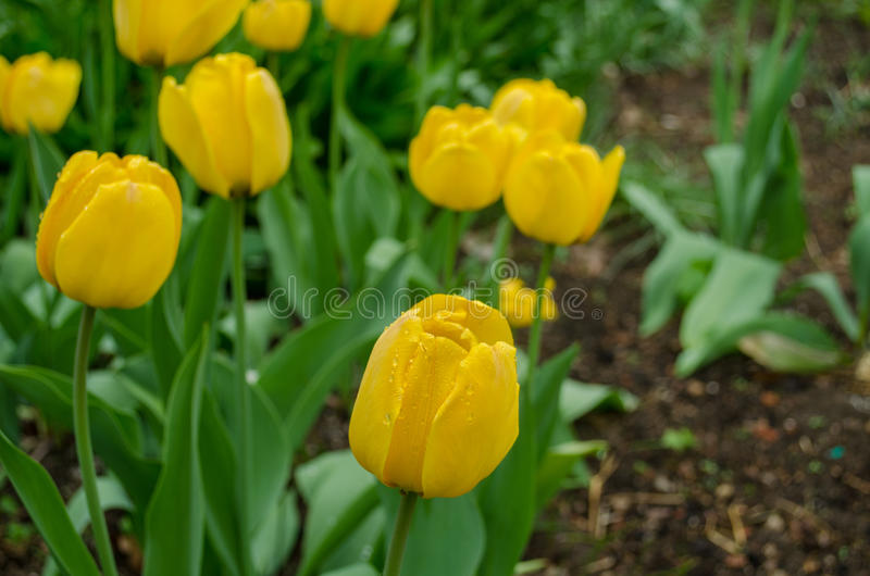 Yellow tulip with green leaves grow in the garden royalty free stock images