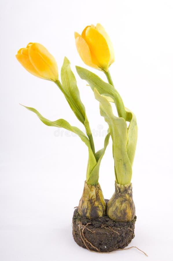 Free Yellow Tulip Isolated Royalty Free Stock Photos - 4380218