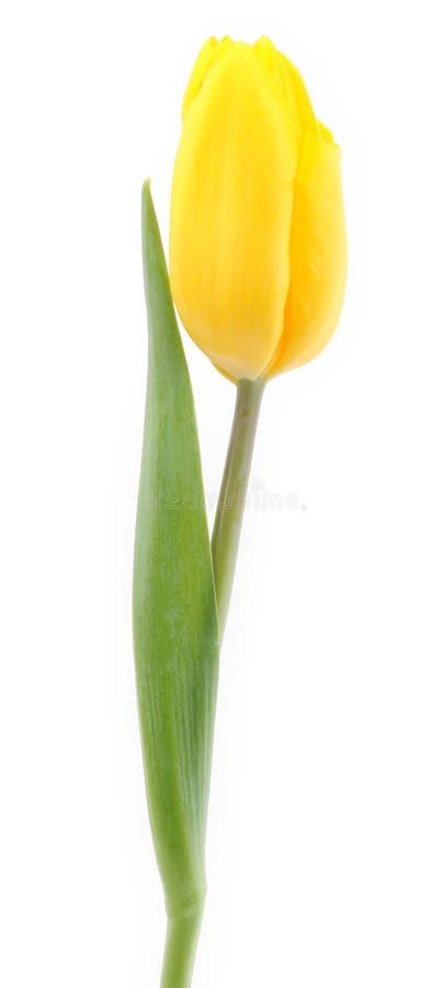 Yellow tulip isolated on white royalty free stock photos