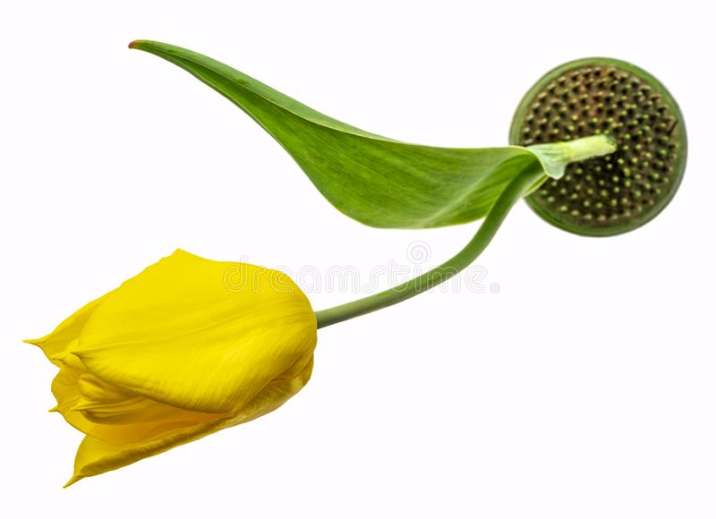 Yellow tulip on kenzan used for ikebana royalty free stock photo