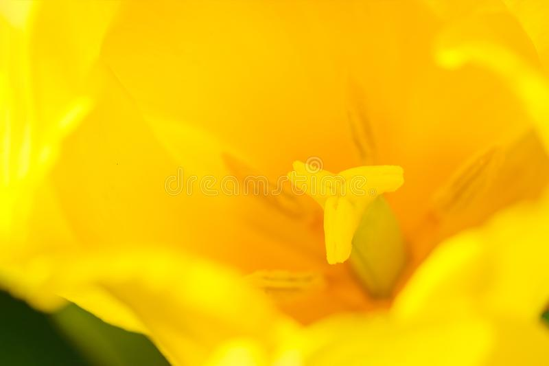 Yellow tulip macro royalty free stock photo
