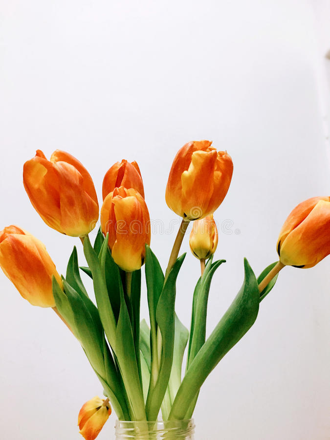 Yellow tulip-present royalty free stock photography