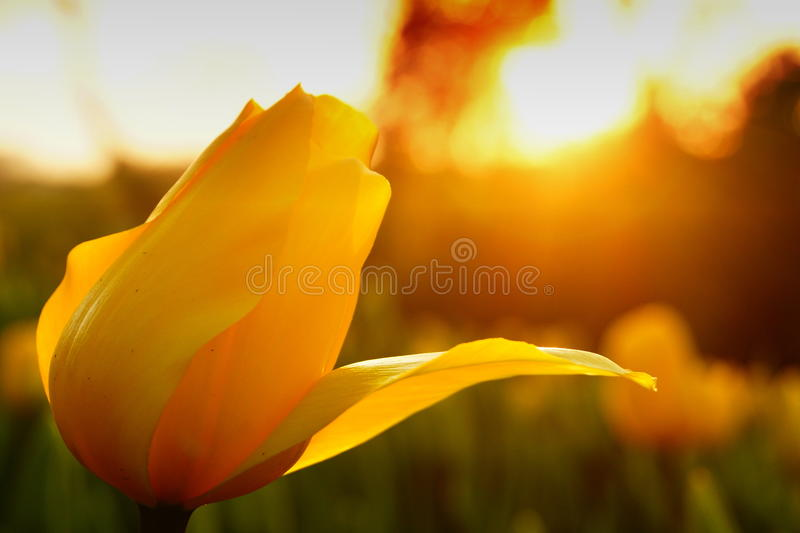 A yellow tulip at sunset in Istanbul stock photos