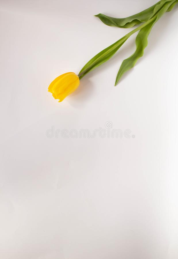 Yellow tulip on white background.  yellow tulips in a female hand on a white background. tulip closeup. Yellow tulip on white background.  yellow tulips in a royalty free stock images