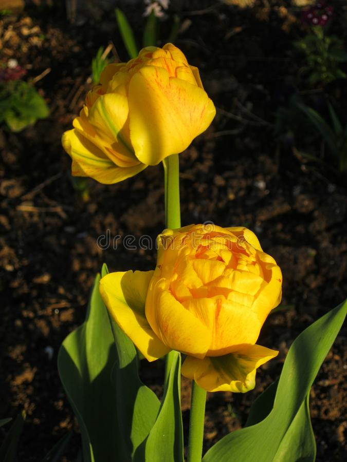 Yellow Tulip. Tulip is a beautiful garden flower that blooms in late spring. It has different shapes and colors and even petals of unusual shape. Tulips are royalty free stock image