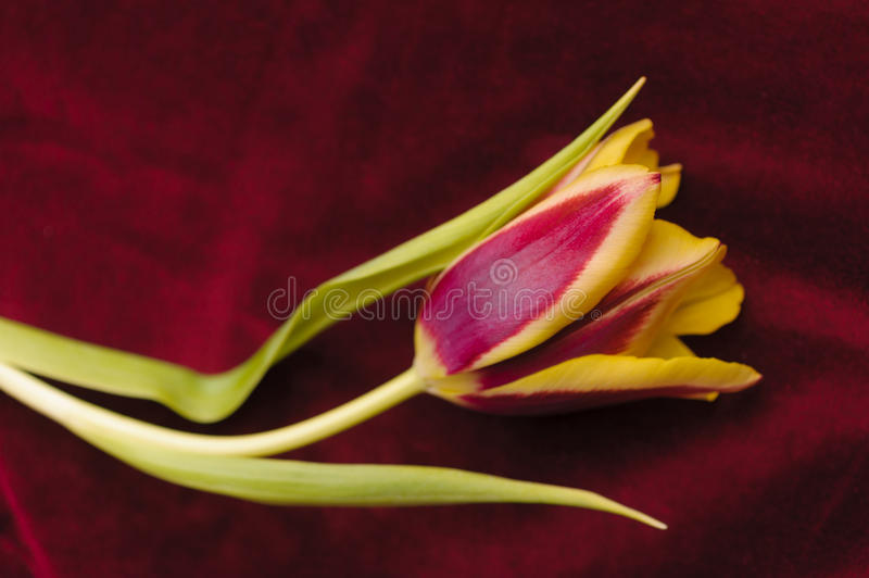 Yellow tulips. On the red background stock photos