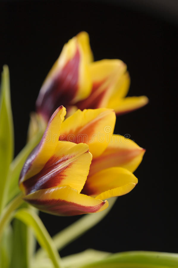 Yellow tulips. On the black background royalty free stock photos