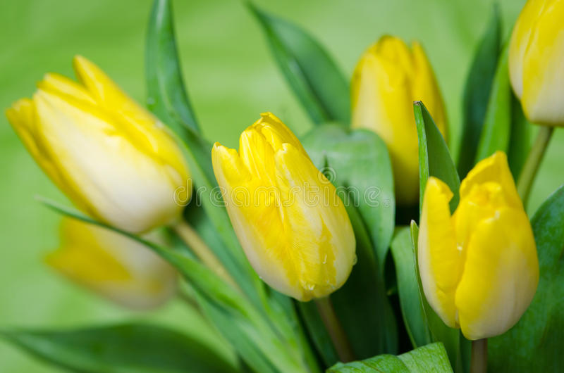 Yellow tulips. Group of yellow tulip on green background royalty free stock photography