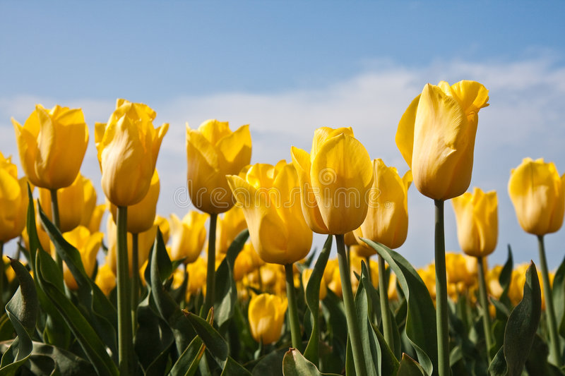 Yellow tulips. At the former Dutch seabottom looking towards the sky royalty free stock photography
