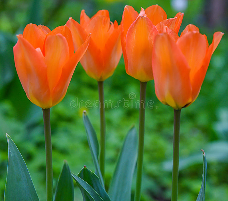 Yellow tulips background stock photos