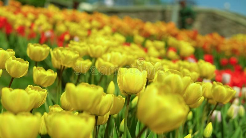 Yellow tulips blooming. Bright yellow flowers are shaking by the wind. People are enjoying good weather and flower scent royalty free stock images