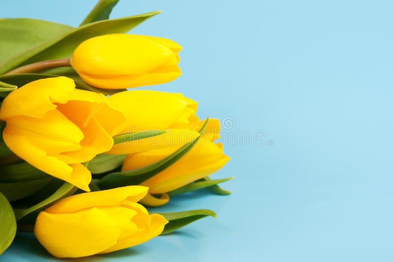 Download Yellow tulips on a blue stock photo. Image of bunch, holiday - 23459224