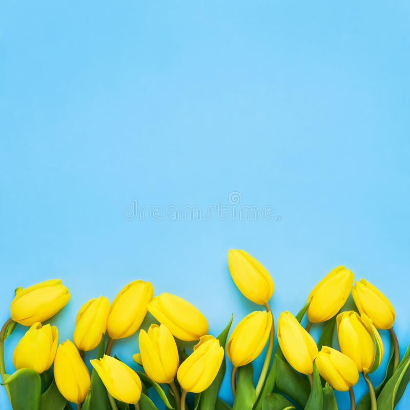 Yellow tulips on the blue background. Flat lay, top view. Valentines background. Square stock images