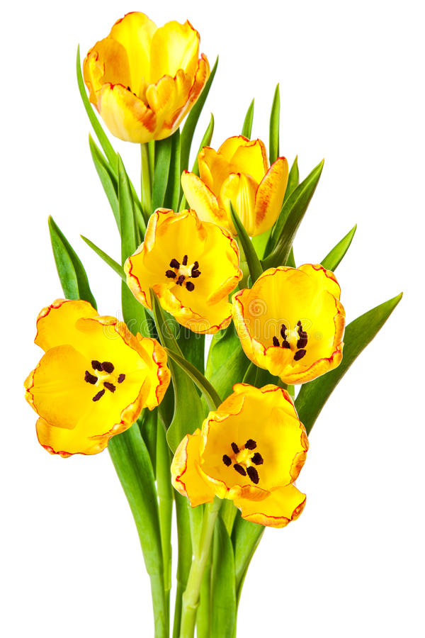 Yellow tulips bouquet tulip flowers isolated stock photo image of download yellow tulips bouquet tulip flowers isolated stock photo image of tulips leaf mightylinksfo