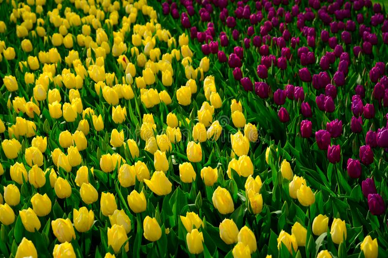 Yellow tulips close up in Holland , spring time flowers in Keukenhof stock photography