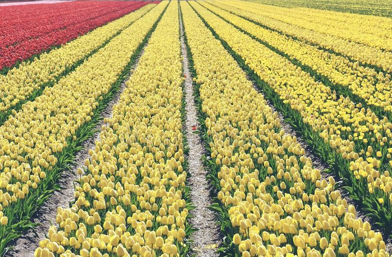 Yellow tulips in a field. These flowers were shot in Holland the Netherlands near Sassenheim. In one of the many `bollenvelden`. You can find colorful fields royalty free stock image