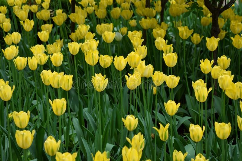 Yellow tulips on the flower bed stock images