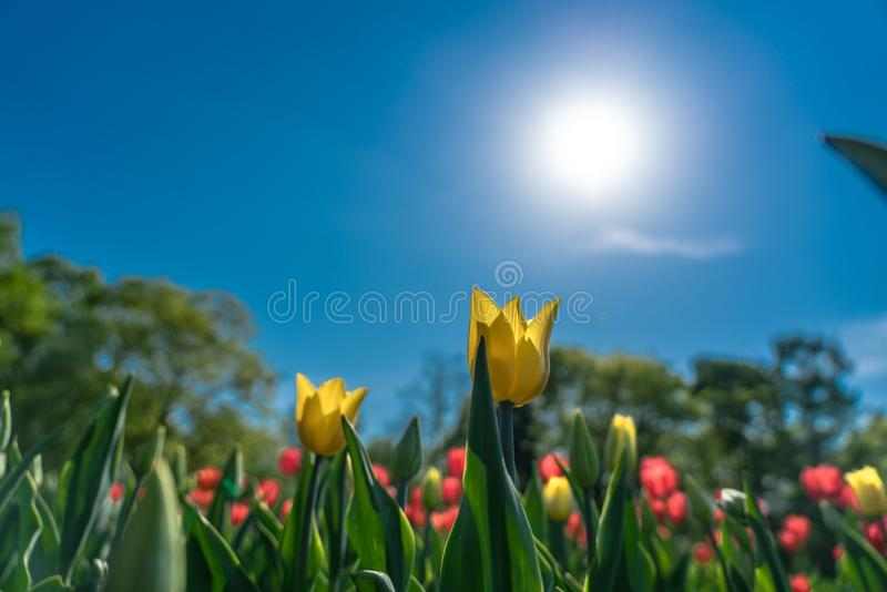 Yellow tulips flowering in the garden royalty free stock photography