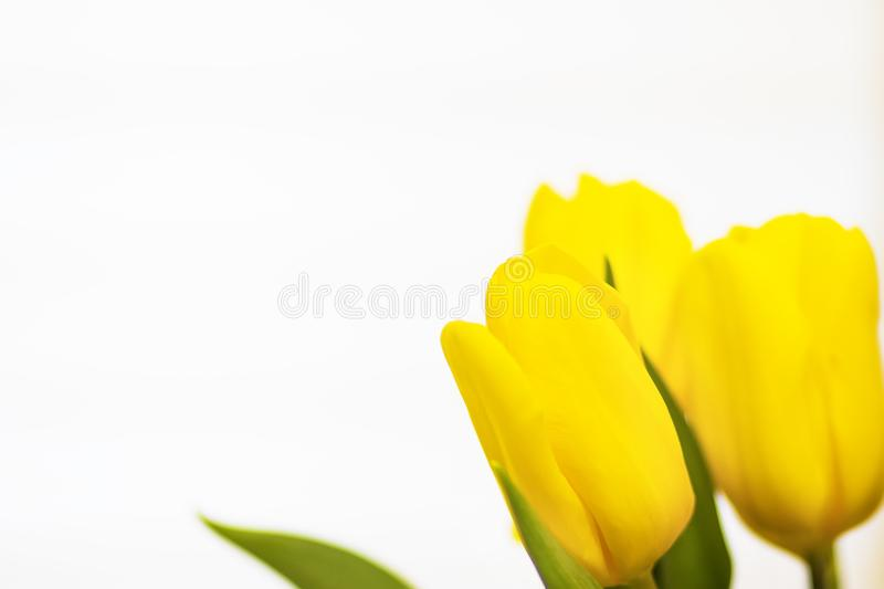 Yellow tulips flowers on a white background. Spring theme. Floral background. royalty free stock photos