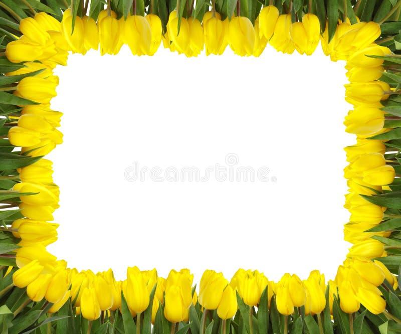 Yellow tulips frame stock photography