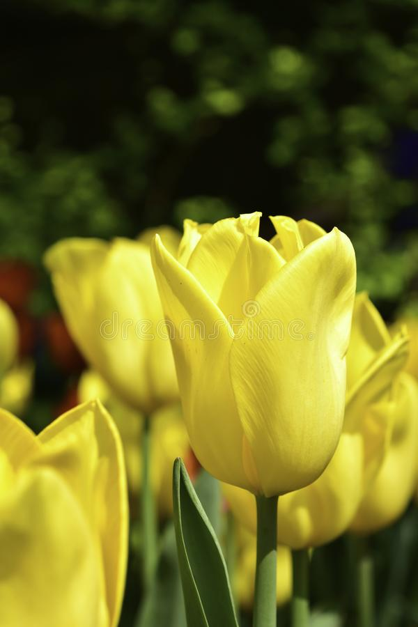 Yellow tulips in the garden stock photography