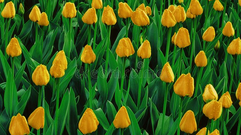 Yellow tulips growing on a field royalty free stock photography