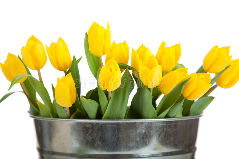Yellow tulips in a metal pail on white. A bouquet of yellow tulips in a silver, metal pail on a white background royalty free stock photos