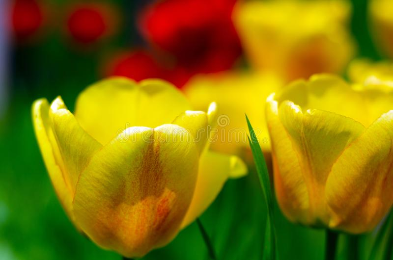 Yellow tulips plants green grass royalty free stock image