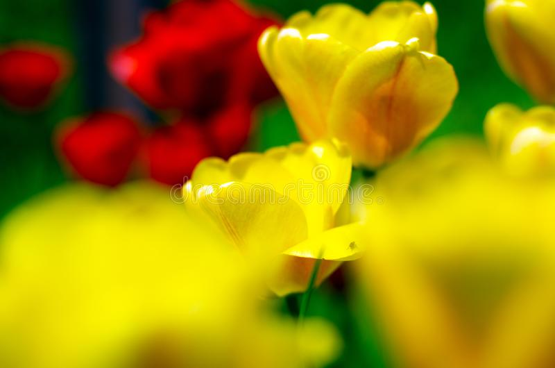 Yellow tulips plants green grass stock photo