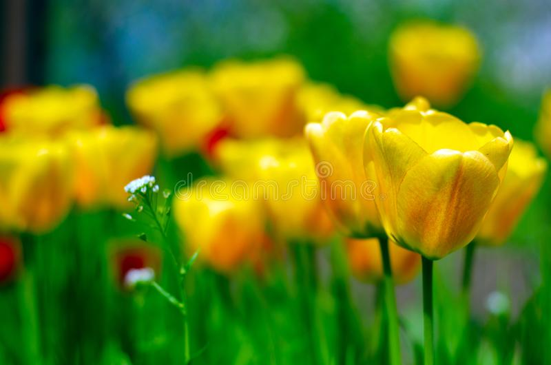 Yellow tulips plants green grass royalty free stock images