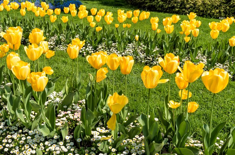 Yellow tulips in spring time, natural background stock photos