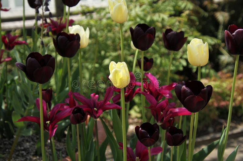 Yellow tulips surrounded by dark purple flowers royalty free stock images