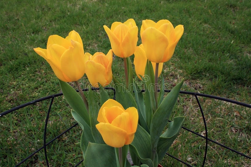 Yellow tulips in Toms River in New Jersey. A flowerbed with yellow tulips in Toms River, New Jersey royalty free stock images